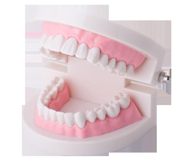 Zahnästhetik - Modell der Zähne